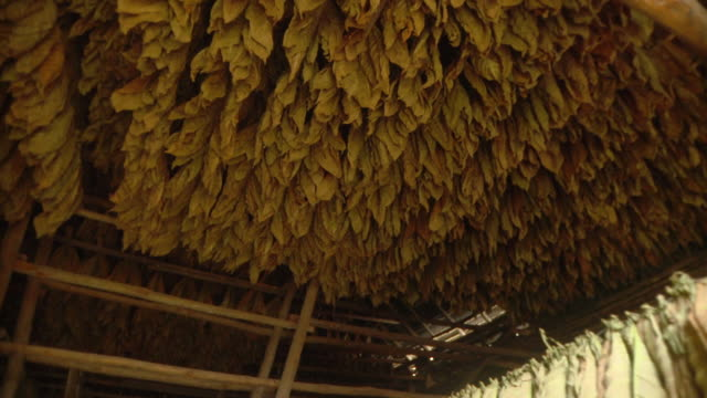 ms pan tobacco leaves hanging for drying / san luis, pinar del rio, cuba - hanging stock videos & royalty-free footage