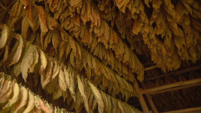 ms pan tobacco leaves hanging for drying / san luis, pinar del rio, cuba - tobacco crop stock videos & royalty-free footage
