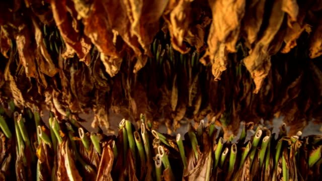 tobacco leaves - tobacco product stock videos & royalty-free footage