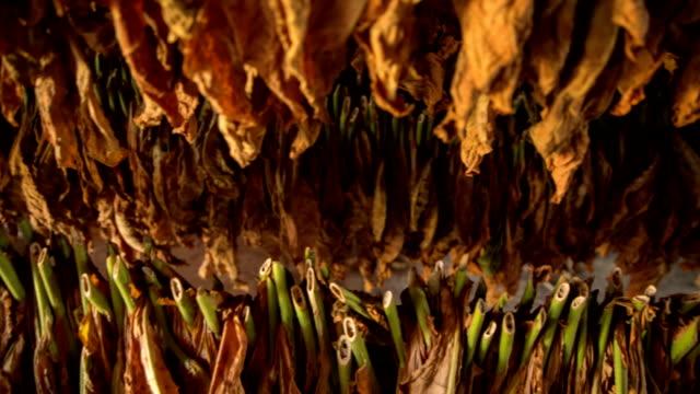 tabak blätter - tabakwaren stock-videos und b-roll-filmmaterial