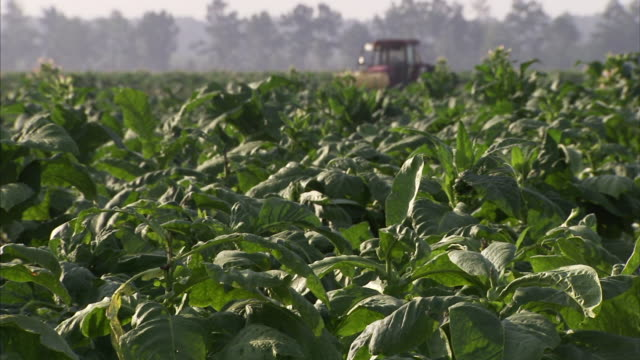 Tobacco plants w/ tractor SOFT BG Agriculture farm cash crop export/import leaves leaf Slavery cigarettes cigars chewing pesticide health risk...