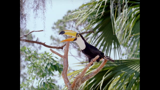 MS Toco toucan bird perching on branch / United States