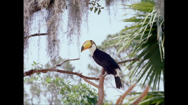 MS Toco toucan bird preening on branch / United States