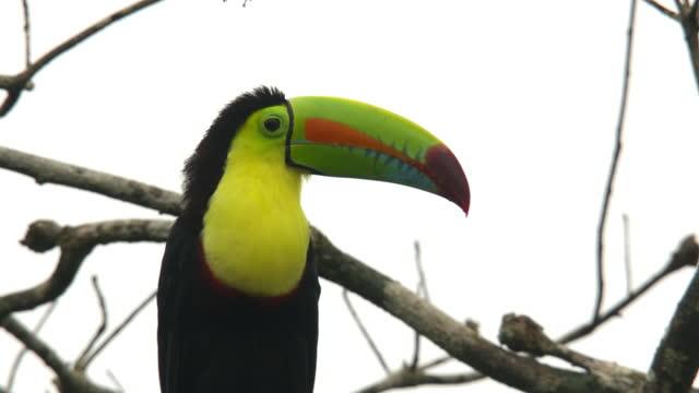 vídeos de stock, filmes e b-roll de toco toucan / costa rica - tucano toco