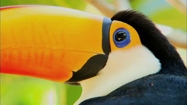 vídeos de stock, filmes e b-roll de toco toucan in pantanal / brazil, south america - tucano toco