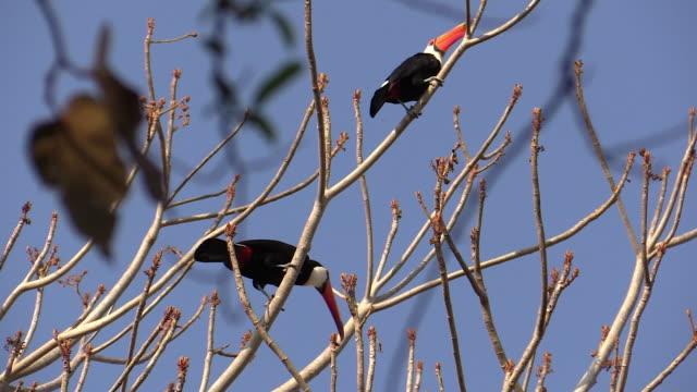 vídeos de stock, filmes e b-roll de toco toucan in tree, pantanal, brazil - tucano toco
