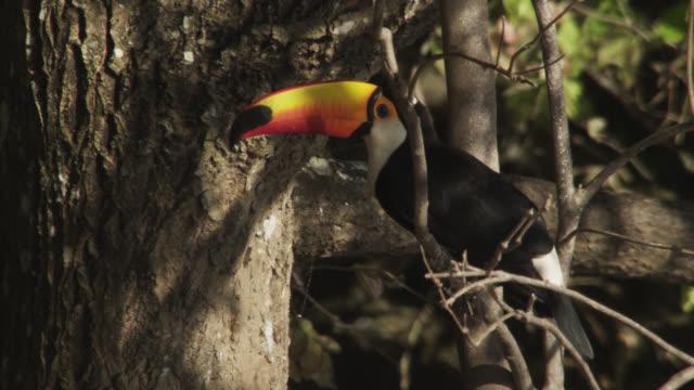 vídeos y material grabado en eventos de stock de toco toucan (ramphastos toco) looks around in tree then takes off. - américa del sur