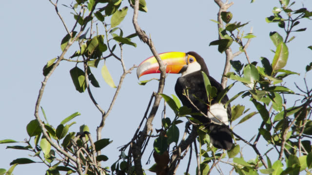 Toco toucan (Ramphastos toco) looks around perched in tree top.