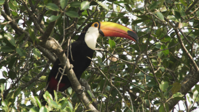 Toco toucan (Ramphastos toco) looks around perched in tree.