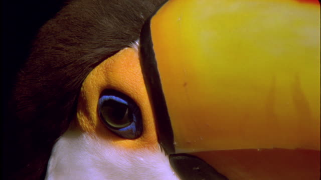 Toco Toucan looks at camera then turns around Available in HD.