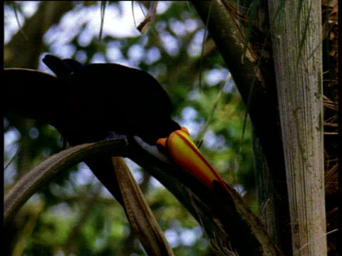 Toco toucan with huge colourful beak looks around while perched in palm tree, Brazil