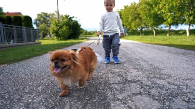 toddler boy walking his pekingese dog - babies only stock videos & royalty-free footage