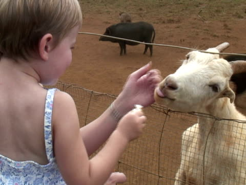 toddler loves, feeds goat - women doing farm animals stock videos and b-roll footage