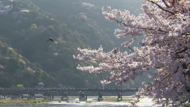togetsukyo bridge with cherry blossoms in arashiyama, kyoto - kyoto stock videos and b-roll footage