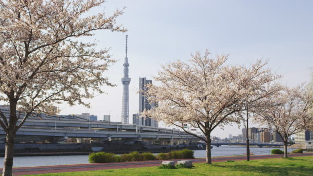 Tokyo Skytree Tower and Cherry blossoms in Japan