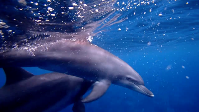 vídeos de stock e filmes b-roll de tokyo--dolphin-watching season has opened in waters off this island, home to at least 150 often-curious indo-pacific bottlenose dolphins. tour... - golfinho