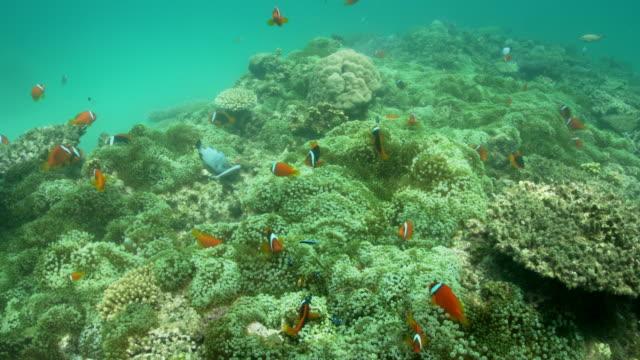 tomato anemonefish - anemonenfisch stock-videos und b-roll-filmmaterial
