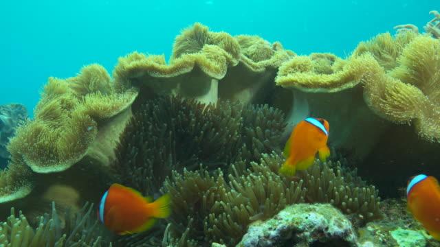 Tomato clownfish in sea anemone