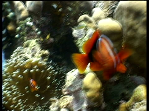 stockvideo's en b-roll-footage met tomato clownfish swimming over reef, one attacks camera, sabah, sipadan, borneo, malaysia - clownvis