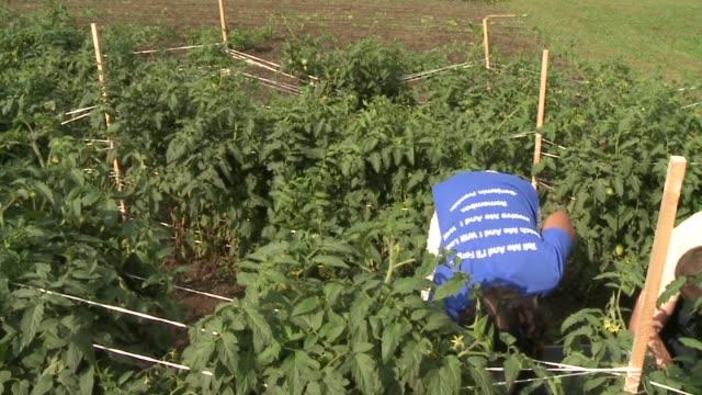 tomato farm on september 21 2011 in indianapolis indiana - cherry tomato stock videos & royalty-free footage