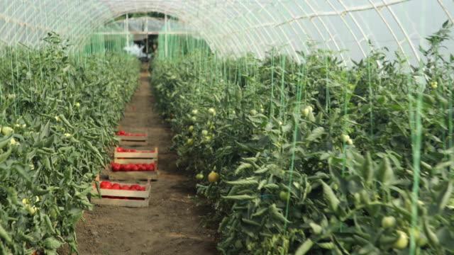 トマトの農場 - グリーンハウス点の映像素材/bロール