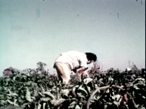 vidéos et rushes de tomato field / people picking tomatoes crate of red tomatoes in the fg / african american men or black men picking tomatoes / woman picking tomatoes... - 1970
