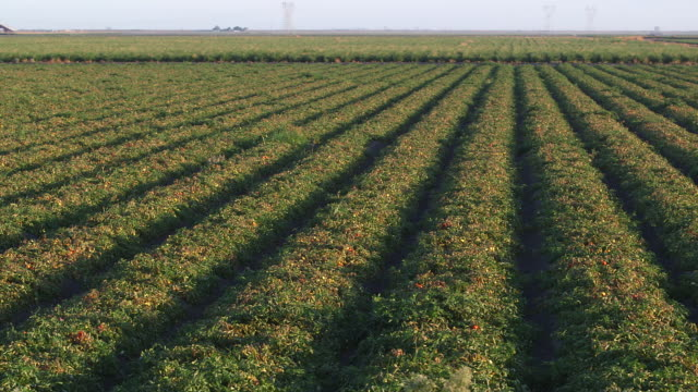 tomato fields pan l - wiese stock videos & royalty-free footage