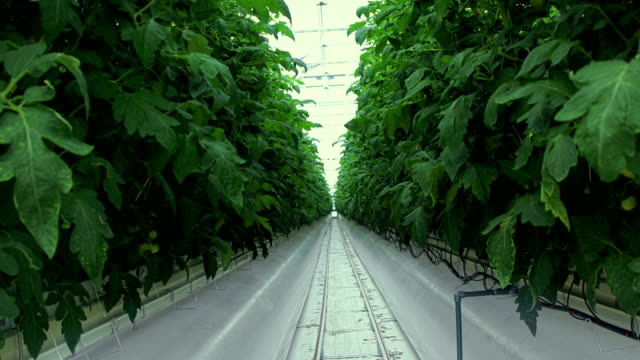 tomato greenhouse - plant nursery stock videos and b-roll footage