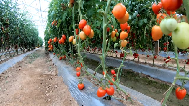 tomato growing in greenhouse - harvesting stock videos & royalty-free footage