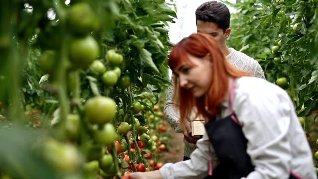 Tomato harvest time