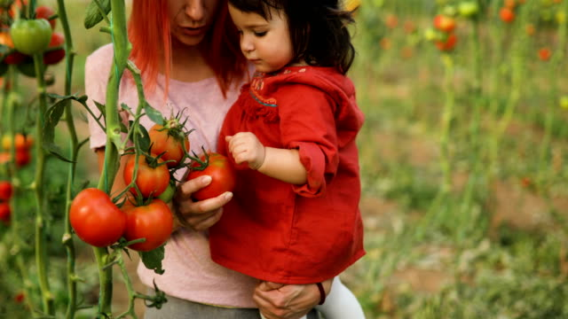 tomato harvest with little assistant - vegetable garden stock videos & royalty-free footage