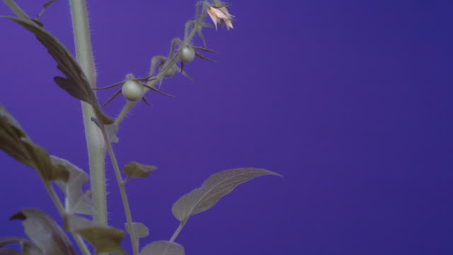 t/l tomato (solanum lycopersicum) mid shot against blue, uk - tomato stock videos & royalty-free footage