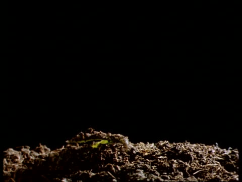 T/L CU Tomato Plant seedling emerging from soil, black background