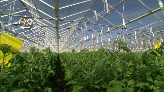 tomato plants grow and ripen in a greenhouse. - tomato stock videos & royalty-free footage