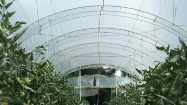 tomato plants on farm - tomato stock videos & royalty-free footage