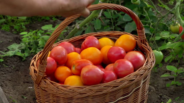 tomato - monoculture stock videos & royalty-free footage