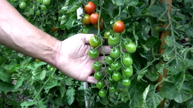 HD: tomato