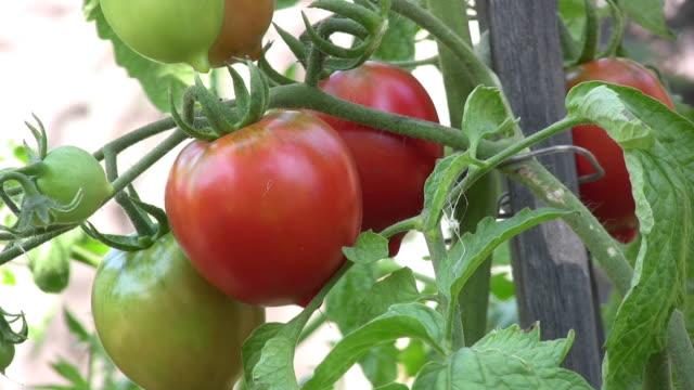 tomato. - picking stock videos & royalty-free footage