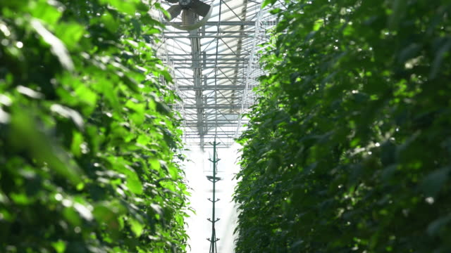 tomatoes are irrigated in a greenhouse