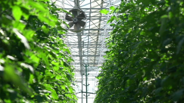 tomatoes are irrigated in a greenhouse - hydroponics stock videos & royalty-free footage