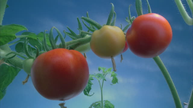 vidéos et rushes de t/l, cu, tomatoes growing and ripening on vine - plante cultivée