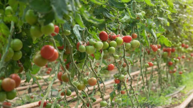 tomatoes growing in a greenhouse - harvesting stock videos and b-roll footage