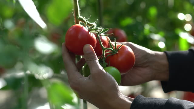 tomatoes growing in a greenhouse - picking stock videos & royalty-free footage