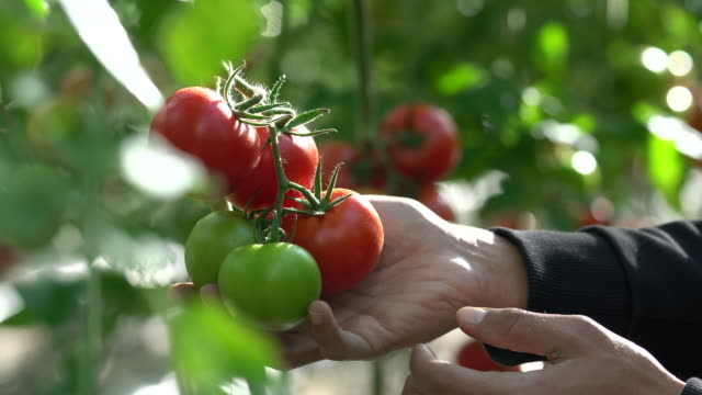 tomatoes growing in a greenhouse - tomato stock videos & royalty-free footage