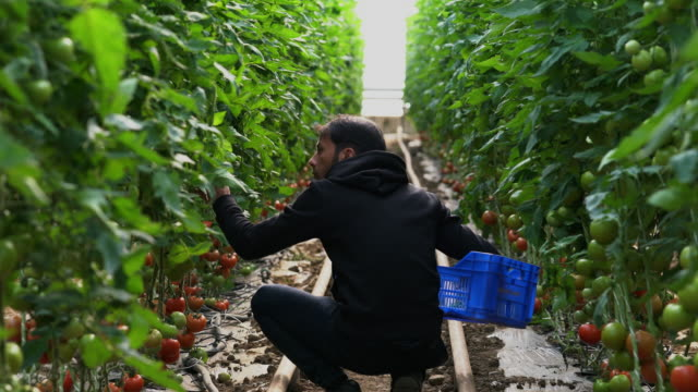 tomatoes growing in a greenhouse - turks fruit stock videos and b-roll footage