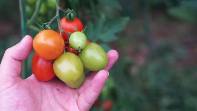 tomatoes growing in a greenhouse - branch plant part stock videos and b-roll footage