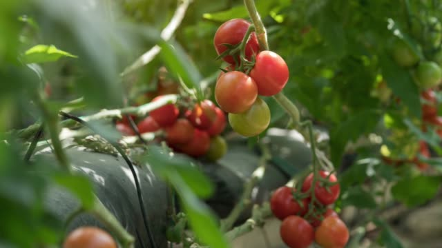 tomatoes growing in greenhouse - vegetable garden stock videos and b-roll footage