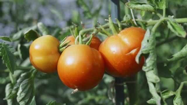 vidéos et rushes de tomates de plus en plus au soleil - quatre objets