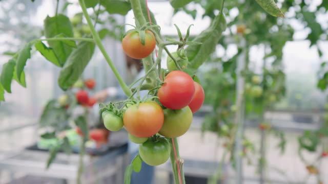 tomatoes growing on a plant in greenhouse - centro per il giardinaggio video stock e b–roll