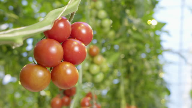 vídeos de stock e filmes b-roll de 4k - tomatoes in a greenhouse - maduro